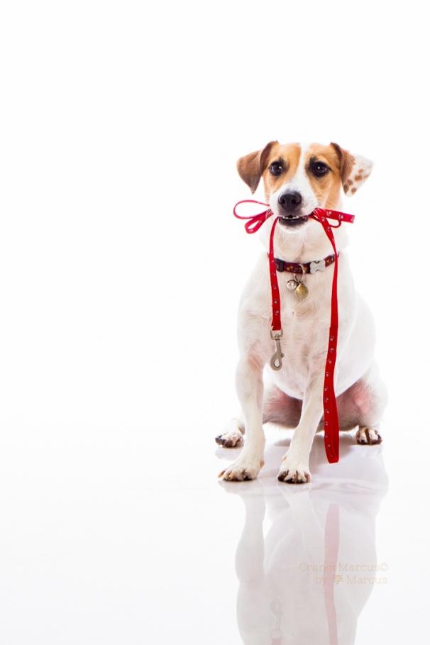 #iam_orangemarcus #orangemarcus #myminions #pets #dogs #dog #jackrussellterrier #jrt #jacjac