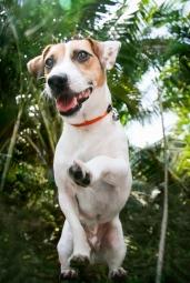 #iam_orangemarcus #orangemarcus #myminions # airwalk #pets #dogs #dog #jackrussellterrier #jrt #jacjac